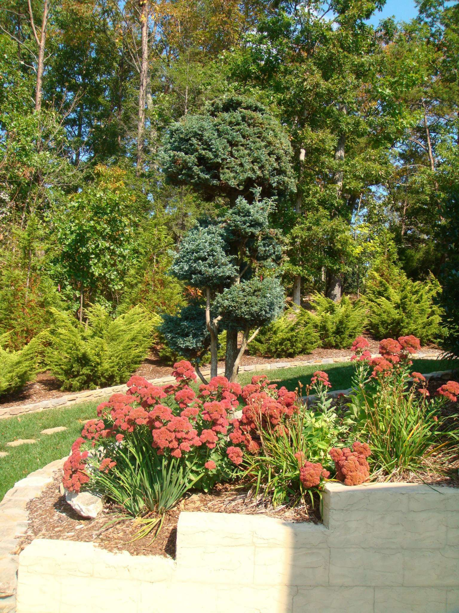 Scotch pine-evergreens-conifers-landscaper-Asheville