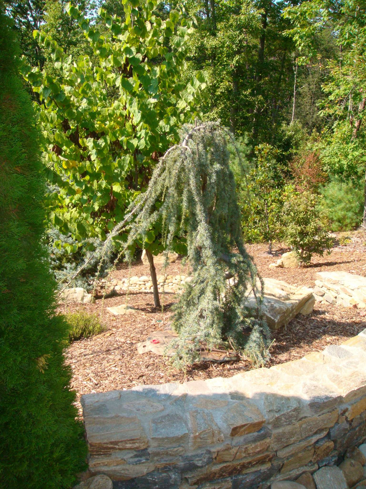 conifers-evergreen-weeping blue atlas cedar
