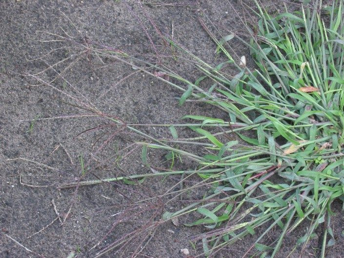 Crabgrass-preemergent-weeds