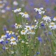 flower-meadow-landscape-outdoors