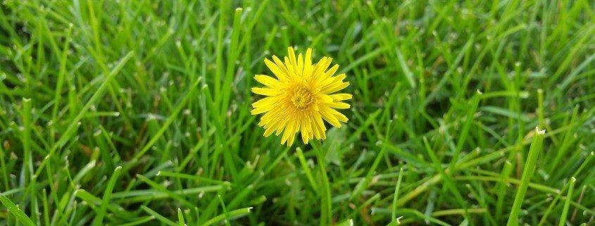 dandelion-lawn-care-landscaper