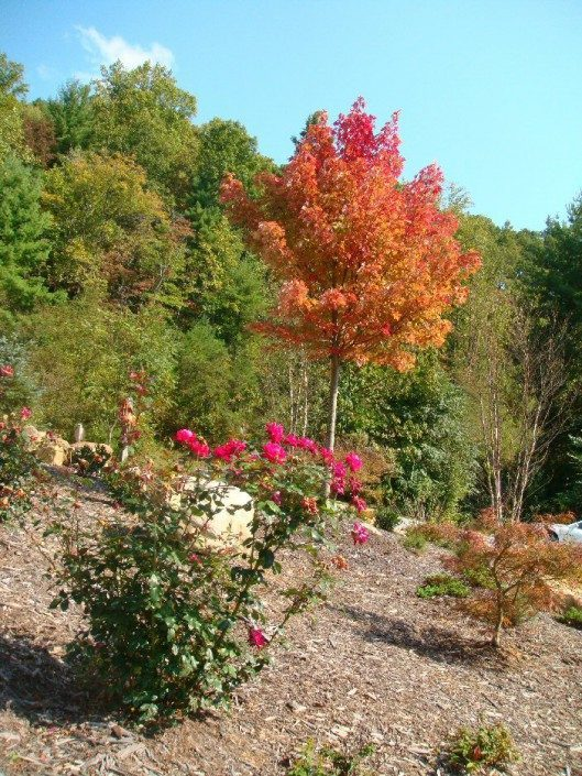 Maple tree-roses-landscaping-home improvement-Asheville