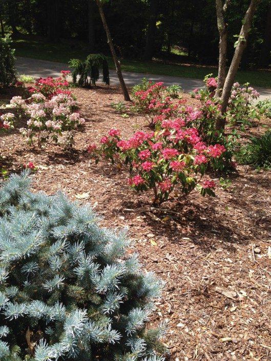 conifer-Blue Spruce-mulch