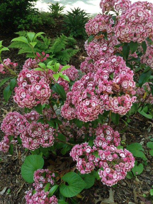 mountain laurel-landscape-shade gardening-Asheville