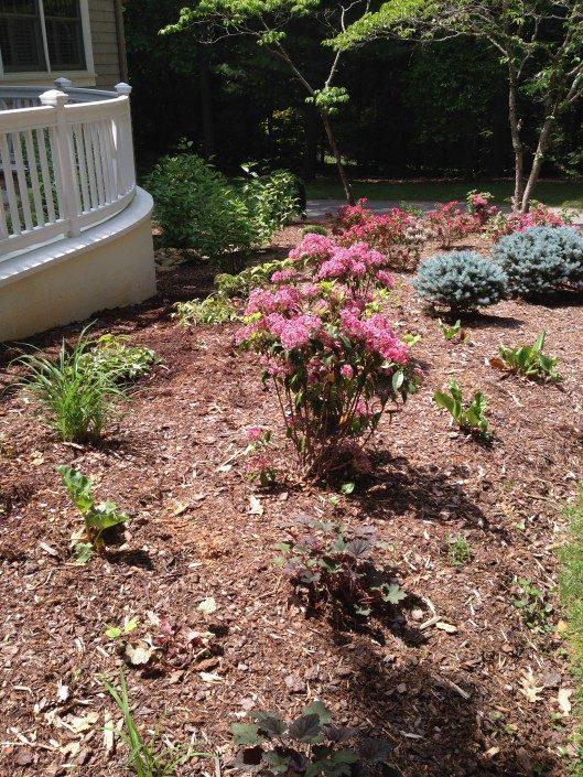 natives-flora-azalea-conifers-mulch-landscape-Asheville