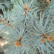 blue-spruce-conifer-evergreen-landscaper-low maintenance