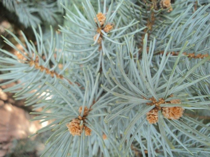 blue-spruce-conifer-evergreen-landscaper-low maintenance