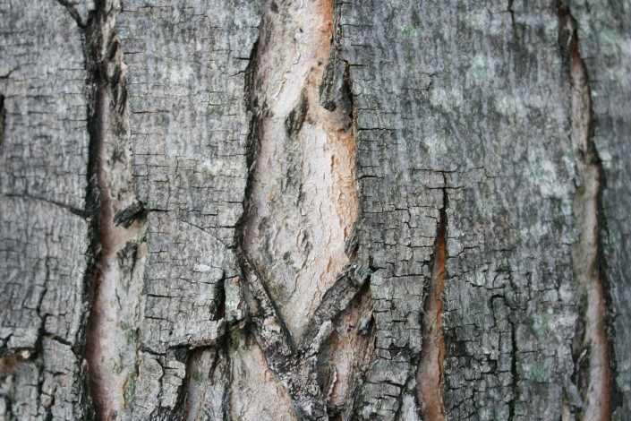 split bark-tree health-arborist