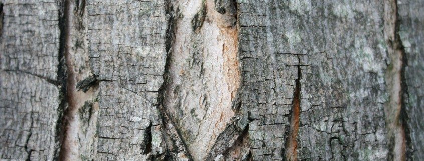 split bark-tree health-arborist