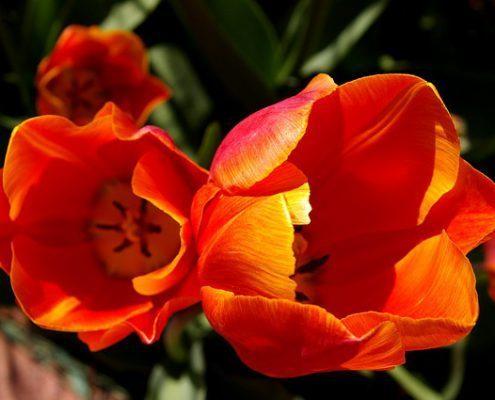 tulips-spring garden chores-landscape calendar